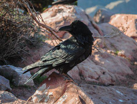 Nature, Birds, Wild Life, Outdoors, Animalia, Crow