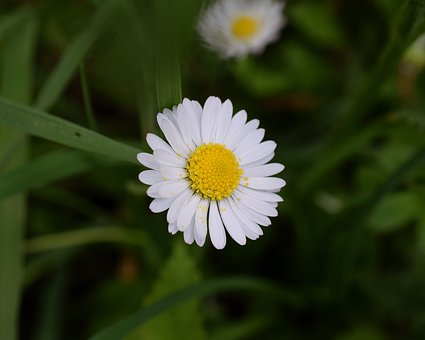 Daisy, Bellis Philosophy, Blossom, Bloom, Macro, Close