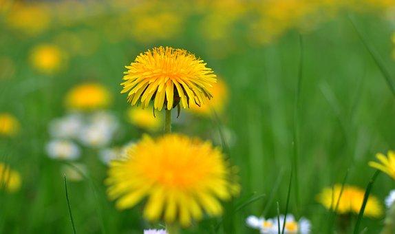 Dandelion, Sprinkle, Pollen, Nature, Grass, Meadow