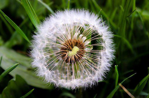 Dandelion, Nature, Plant, Grass, Spring