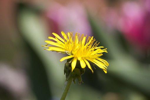Common Dandelion, Dandelion, Flower, Taraxacum