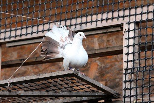 Dove, Bird, White Dove, White Bird, Golubka, Home