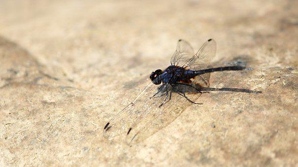 Nature, Animal, Wildlife, Insect, Dragonfly, Fly