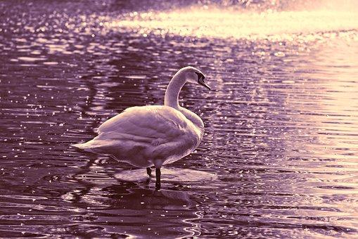 Swan, Bird, Water Bird, Animal, Plumage, Feathers, Neck