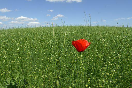 Poppy, Field, Hayfield, Grass, Summer, Nature, Wheat
