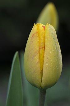Nature, Flower, Plant, Leaf, Tulip, Bright, Garden
