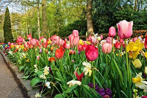 Tulip, Flower, Plant, Bulbous, Blossom, Full Bloom