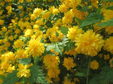 Flower, Plant, Nature, Garden, Leaf, Ranunculus