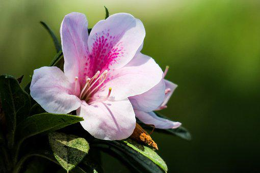 Rhododendron, Hong Kong, The Year April, Nature, Flower
