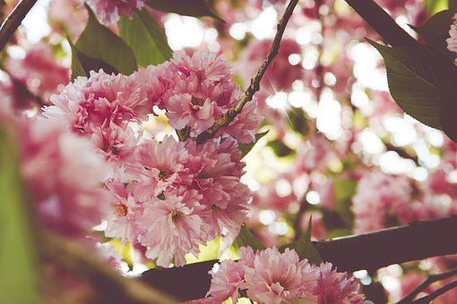 Cherry, Tree, Spring, Nature, Flowers, Flowering, Pink