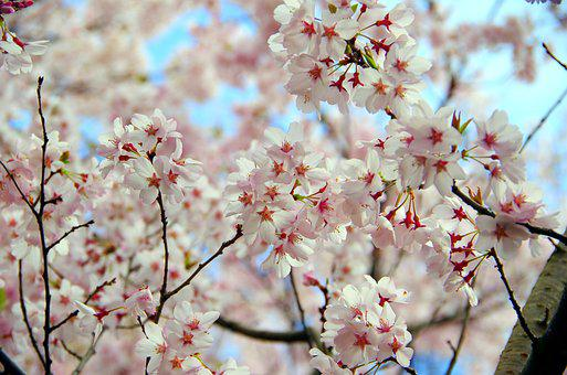 Cherry, Flowers, Branch, Wood, Plant, Blue Sky