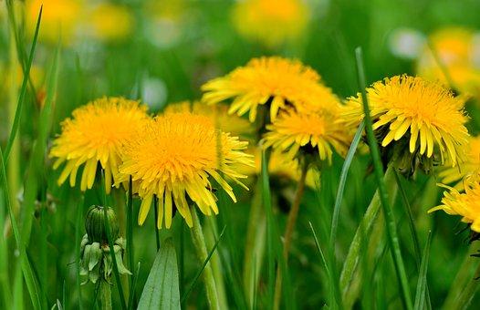 Dandelion, Pollen, Nature, Grass, Meadow, Yellow