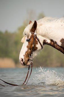 Animal, Nature, Mammal, Horse, Pinto, Head, Western