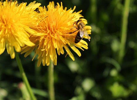 Honey Bee, Nature, Dandelion, Spring