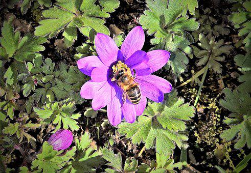Flower, Blue Anemone, Wood Anemone, Honey Bee, Insect