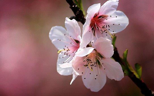 Korea Peach, Fruit Trees, Flowers, Leaf, Spring, Nature