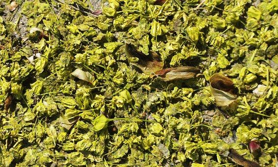 Lime Blossom, Ground, Lying, Spring, Blossom, Nature