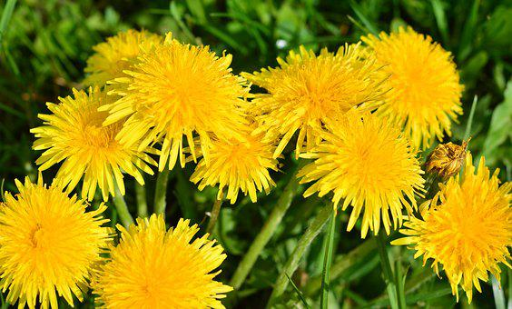 Dandelion, Nature, Grass, Meadow, Yellow, Spring Meadow