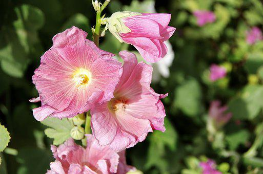 Althea, Hollyhock, Flower, Pink Flower, Mallow, Nature