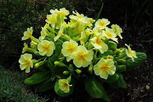 Flower, Primula, Yellow, Spring, Nature