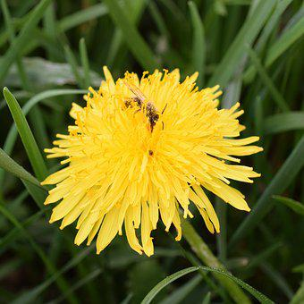 Dandelion, Bee, Nectar, Bee Nectar, Macro, Close