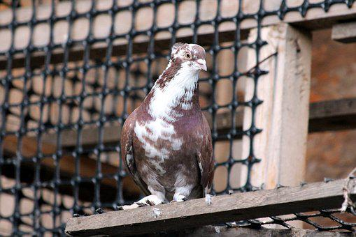 Dove, Bird, No One, Feathered Race, Domestic Pigeon