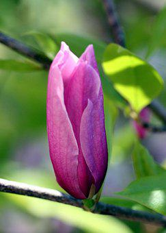 Magnolia, Nature, Plant, Flower, Leaf, Outdoor