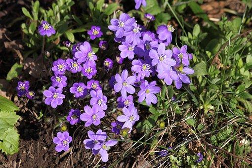 Hepatica, Spring Flowers, Nature, Plant