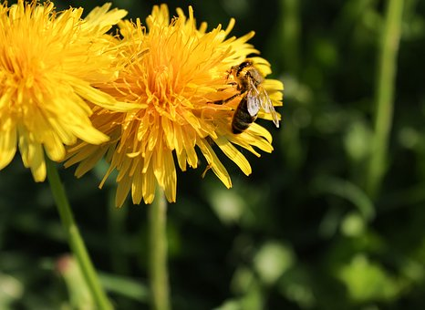 Honey Bee, Nature, Dandelion, Spring, Plant, Flower