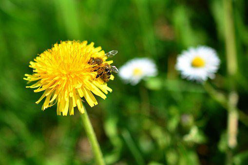 Dandelion, Bee, Sprinkle, Pollen, Nature, Grass, Meadow