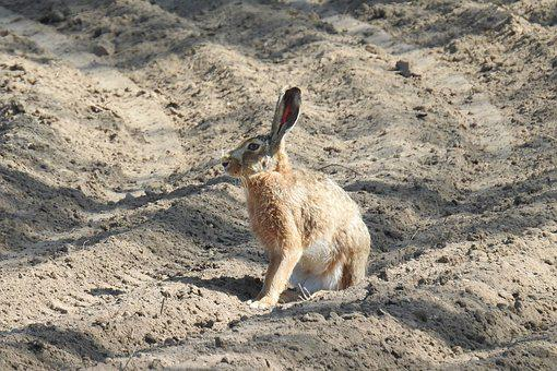 Hare, Field, Arable, Nature, Sand