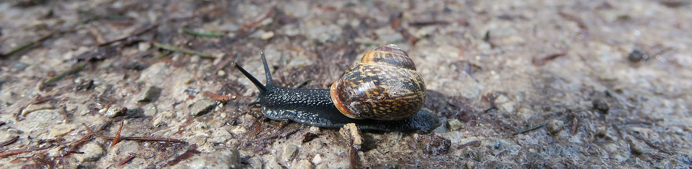 Snail, Shell, Black, Nature, Animal