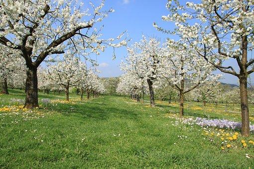 Franconian Switzerland, Spring, Cherry Blossom