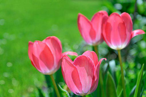 Pink Tulips, Garden, Flowers, Spring, Green