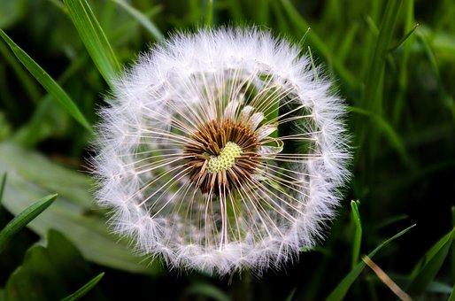 Dandelion, Nature, Plant, Grass, Spring, Green, Grasses