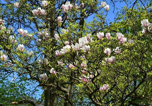 Magnolia, Trees, Spring, Spring Awakening, Nature