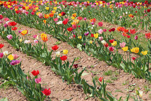 Tulip, Flowers, Flower Bed, Cut Flowers, Spring