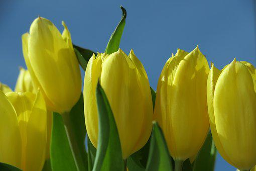 Tulip, Yellow, Easter, Nature, Flower