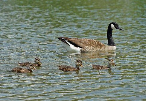 Bird, Water, Duck, Pool, Lake, Waterfowl, Nature