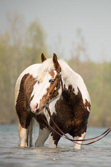 Animal, Nature, Mammal, Horse, Pinto, Head, Western