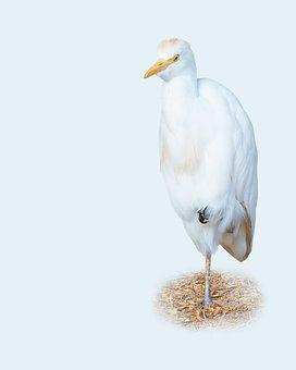 Cattle Egret, Bird, Avian, Animal, White, Gull, Beak