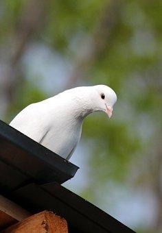 Dove, Bird, No One, Outdoors, Nature, White Bird, One