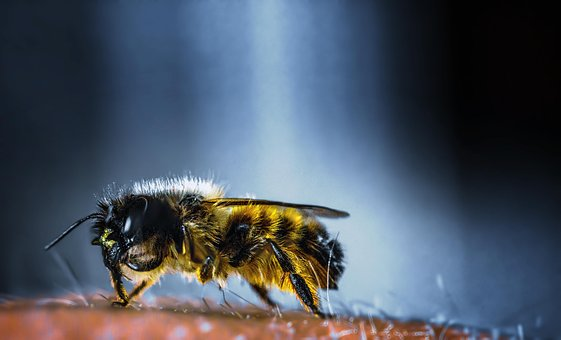 Insect, Bee, Nature, Honey, Wing, Wild Bee, Animal