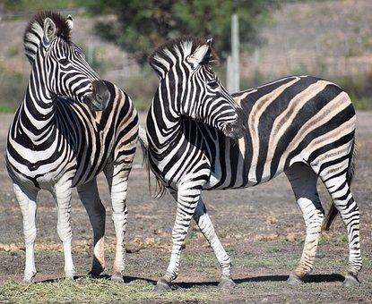 Zebra, Equid, Safari, Wildlife, Wild
