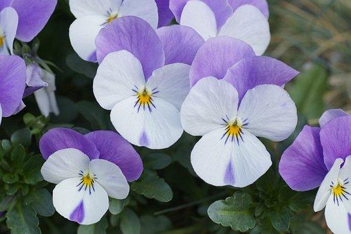 400–500, Flower Meadow, Pansy, Purple