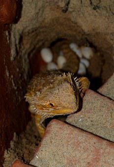 Bearded Dragon, Animals, Pogona Vitticeps, Lay Eggs