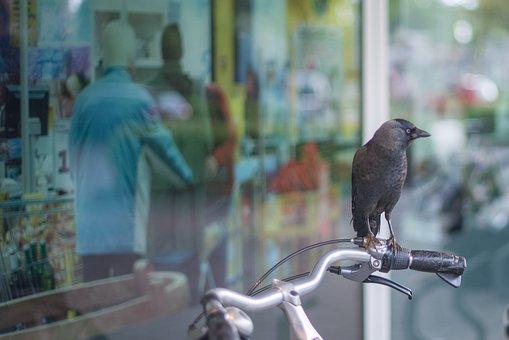 Crow, Bicycle, Shop, Window, People, Reflection