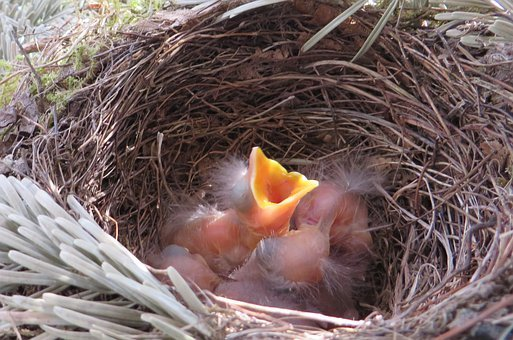 Bird's Nest, Blackbird, Bird Breeding, Nest