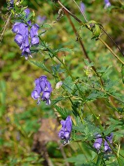 Monkshood, Plant, Poisonous Plant, Blossom, Bloom, Blue