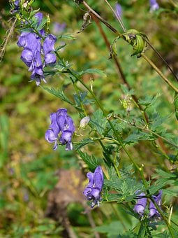 Monkshood, Plant, Poisonous Plant, Blossom, Bloom, Blue